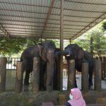 Tengok Gajah di Kuala Gandah