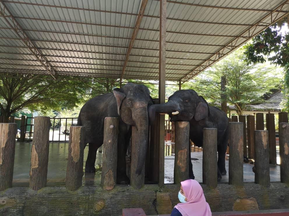 Tengok Gajah di Kuala Gandah, Pahang